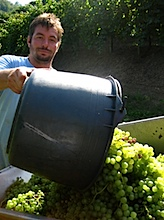 vendemmia coste piane1.jpg
