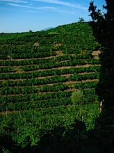 vendemmia coste piane3.jpg